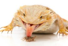 Everything to Know about Feeding a Bearded Dragon